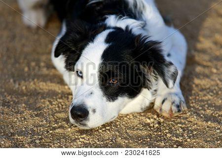 Black & White Border Collie Resting. Puppy Male.