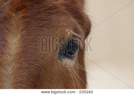 Animal Horse Eye