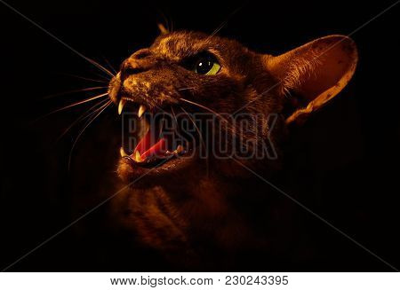 Angry Bad Oriental Short-hair Cat With Open Mouth Closeup. The Cat Growls Isolated On Black. Frighte