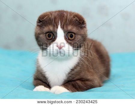 Portrait Of A Surprised Brown And White Scottish Fold Kitten Looking At The Camera, Cat Sitting On T