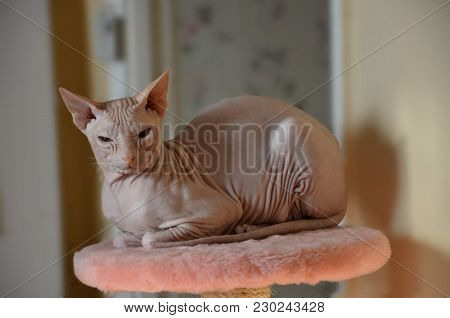Bald Hairless Sphinx Cat Sitting On Pink Seat And Resting Isolated On A Flat Background. Big Cat Of