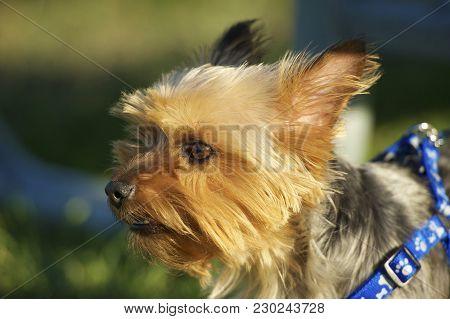 Australian Silky Terrier In Park. Closeup Photography. Australian Silky Terrier Horizontal Photo.