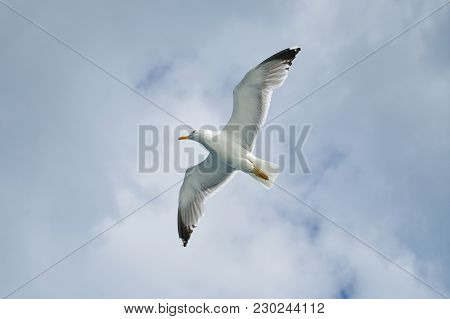 Image Of Bottom View Of Gull Flying High