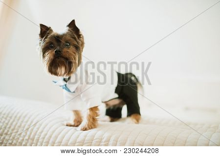 Brown Dog Dressed In Black Trousers And White Shirt