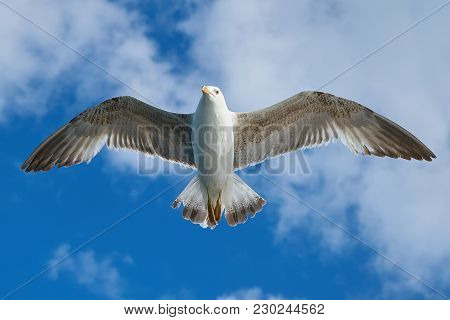 Image Of Close Up Of Amazing Seagull Flying