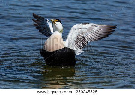 Natural Common Male Eider Duck (somateria Mollissima) Spread Wings, Blue Water