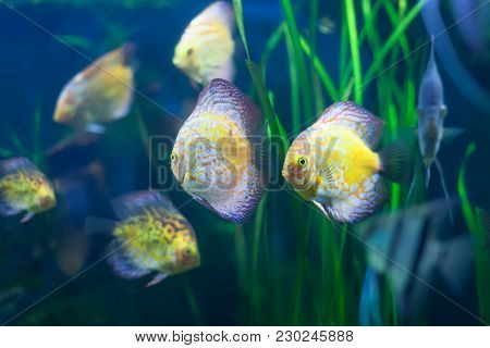Few Discus Fish In The Grass At Water