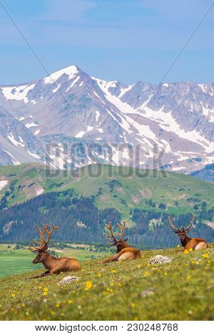 Summer Colorado Mountain Meadow With Three Elks Resting On The Grass. Colorado Wilderness.