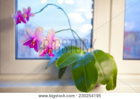 Beautiful Rare Orchid In A Pot On A White Background