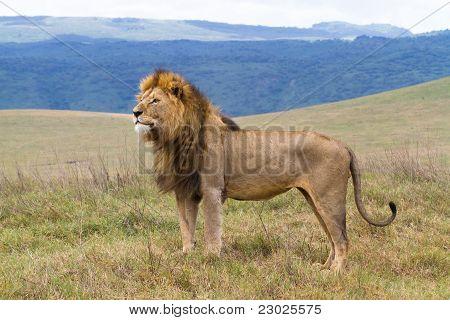 Männlichen Löwen