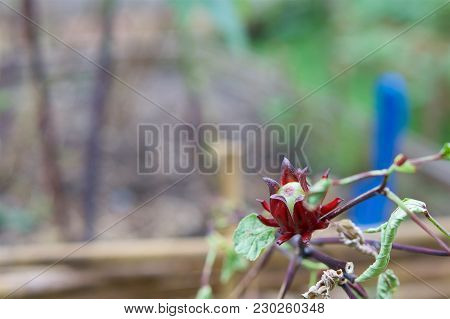 Hibiscus Sabdariffa Linn Or Rosella Have Blur Green Leaves And Bamboo Fence As Background With Copy