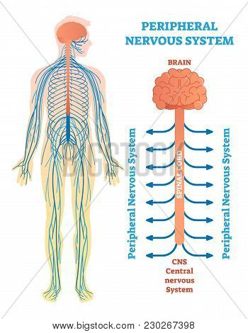 Peripheral Nervous System, Medical Vector Illustration Diagram With Brain, Spinal Cord And Nerves. E