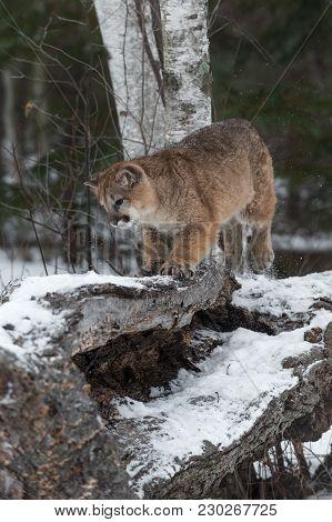 Female Cougar (puma Concolor) Moves On Log - Captive Animal