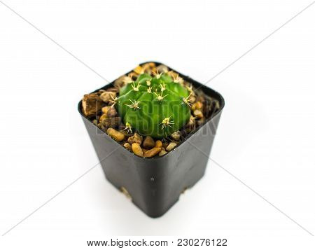 The Small Cactus In A Black Pot Is Not Very Small, The Cactus Is Placed In Front Of The Computer. De