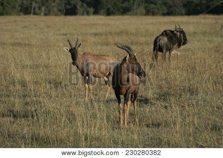 Topi(damaliscus Lunatus) And  Blue Wildebeest (connochaetes Taurinus) Nyumbu.