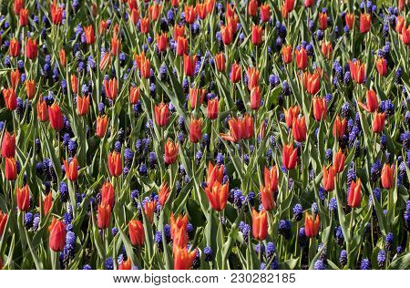 Red Tulips And  Blue Hyacinth Blooming In A Park