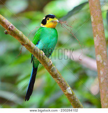 Long-tailed Broadbill Bird