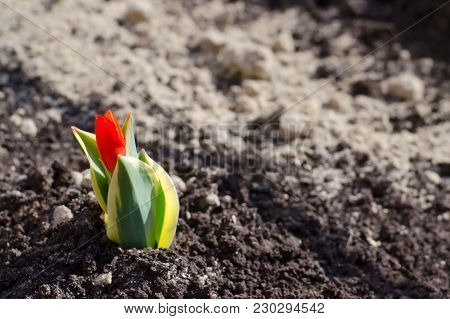 Little red Tulip on the background of the earth. The concept of the beginning of spring, the awakening of plants, new life, new business, beginning of field and garden works. Copy space