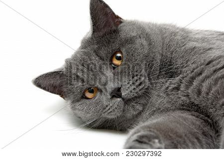 Gray Cat With Yellow Eyes. Horizontal Photo.