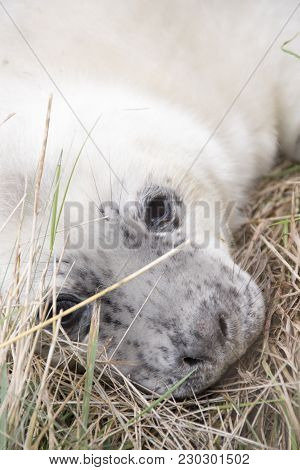 Donna Nook, Lincolnshire, Uk - Nov 15: Close Up On A Cute Fluffy Newborn Baby Grey Seal Pup On 15 No