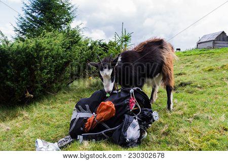 Mountain Animals Search Tourist Equipment.