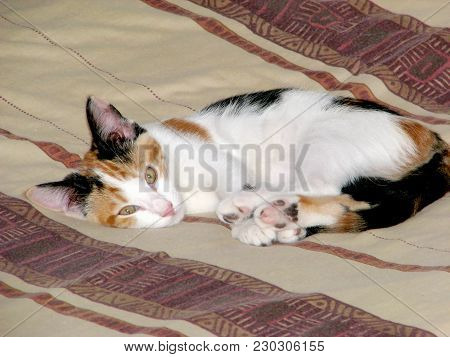 A Calico Kitten, Lying On A Bed, Calico Cats Are Well Known For Their Tricolor Coat,orange, Yellow A