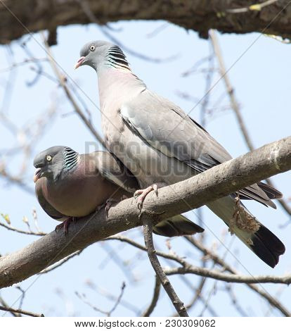 Two Doves In Love On The Tree In Nature .