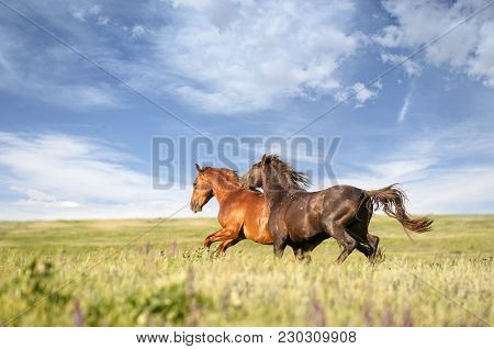 Two Wild Horses With A Long Mane Running Galloping Over The Steppe Flowers On The Island