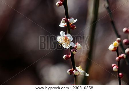 Plum Blossom Buds Preparing To Open In A Small Plum Orchard In Yamato, Japan.