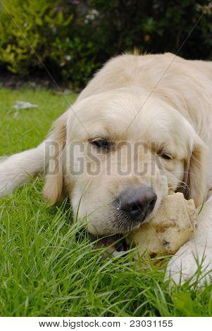 Golden Retriever Dog With Bone