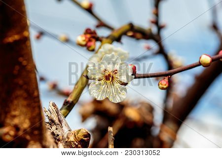 A Macro Shot Of A White Plum Blossom In Late February In Japan. Plums Are One Of The First Fruit Tre