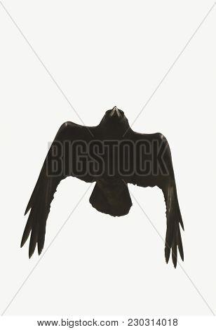 A Flying Raven Against White, Genus Corvus