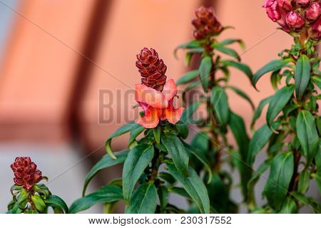 Snap Dragons Begin To Bloom In A Planter Box In A Park In Shinjuku, Tokyo