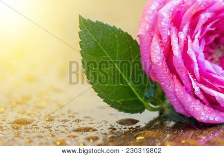 Spring Forward, Springtime Concept - Pink Wet Rose Flower And Water Drops