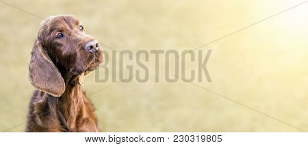 Web Banner Of A Happy Cute Irish Setter Dog With Blank, Copy Space