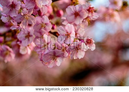Bright Pink Plum Blossoms Fill The Trees In Late February In Japan. Plums Are One Of The First Fruit