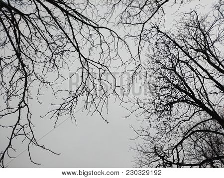 Branches Of Trees Against The Gray Sky. Overcast Weather, Graphic Composition, Lines, Black And Whit