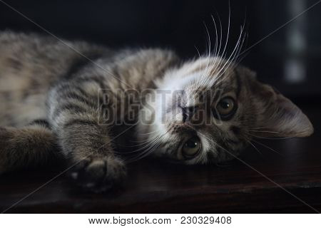 Cat Kitten With Head Tilted Cute Pet