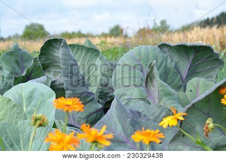 White Cabbage On The Field, Cereals In The Background, Marigolds In The Foreground
