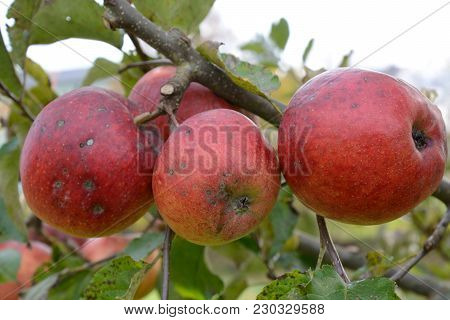 Unsprayed, Partly Sick Apples On An Apple Tree - Closeup