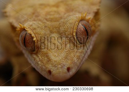 Face On View Of The Eyes Of A Crested Gecko With A Shallow Depth Of Field