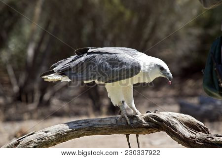The Sea Eagle Is Perched On Driftwood