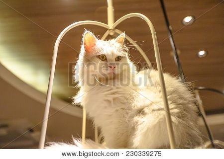 Purebred White Turkish Angora Cat With Long Fur Sitting In His Basket.