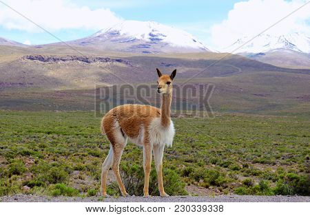 Vicuna In The Altiplano Of The Arequipa Region On The Way To The Colca Canyon In Peru