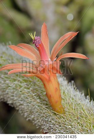Golden Rat Tail Cactus Flower - Cleistocactus Winteri