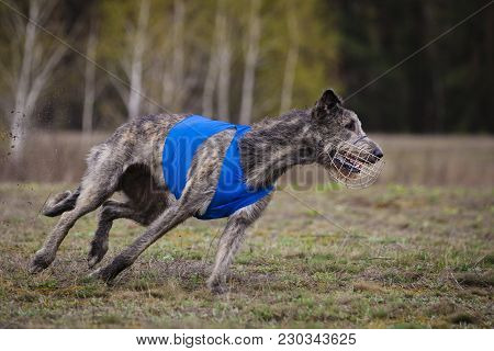 Coursing. Irish Wolfhound Dog Runs Across The Field.