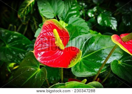 Anthurium Andraeanum - Beautiful Red Flower With Yellow Spadix