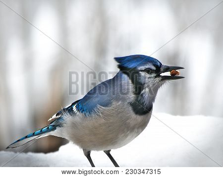 Beautiful Bluejay Bird - Corvidae Cyanocitta Cristata - Standing On White Snow Eating Morsel, Facing
