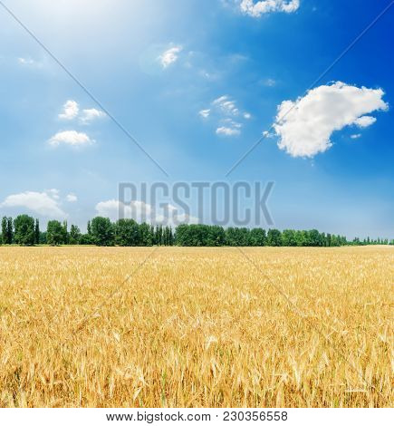 golden agriculture field and clouds with sun in blue sky