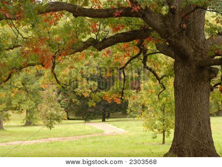 Oak Tree In An Autumn Setting Showing Fall Colors